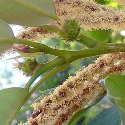 Châtaignier, fleurs femelles entourées de chatons males