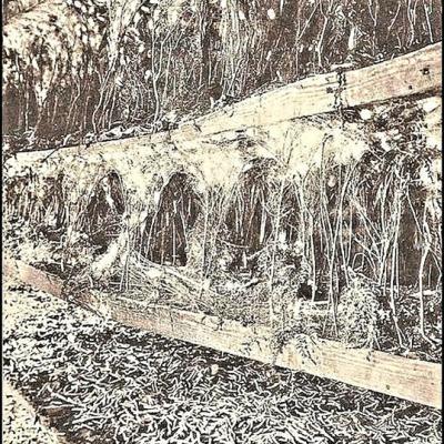 Montee des vers a soie sur de la bruyère où ils vont former leur cocon