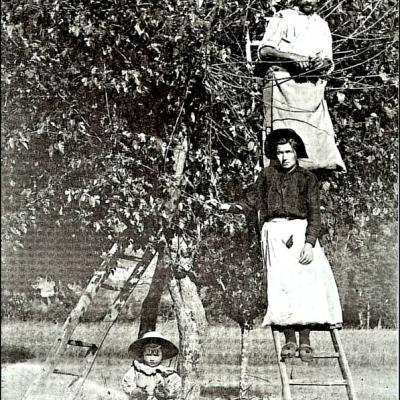 Ramassage de la feuille de mûrier